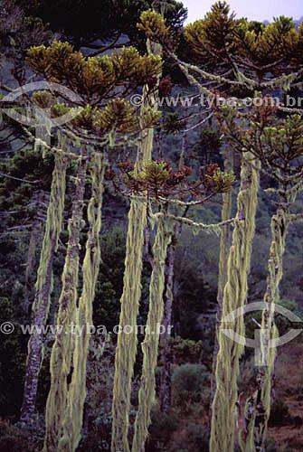 (Tillandsia sp.) Araucárias com troncos revestidos de liquens e presença de barba-de-velho, típica de regiões mais úmidas - sul do Brasil