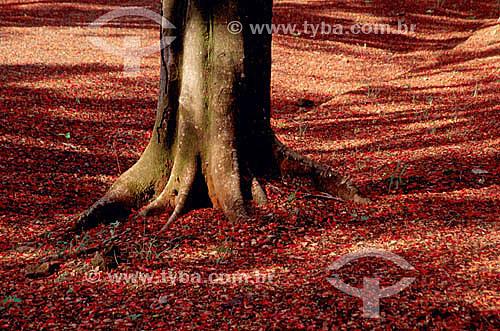(Delonix regia) Raiz de Flamboyant - árvore - Leme - SP - Brasil  - Leme - São Paulo - Brasil