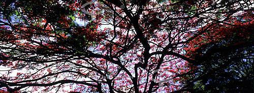 (Delonix regia) Flamboyant - árvore