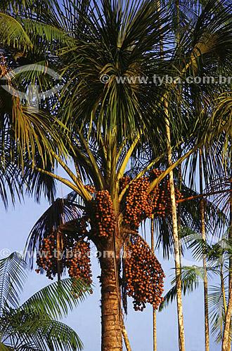 Buritizeiro (Mauritia flexuosa), árvore