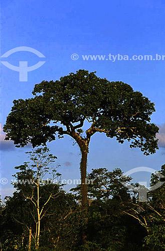 Castanheira (Bertholletia excelsa), árvore, Amazônia / Data: 2008