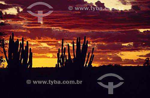 Grupo de cactus Mandacarus ao pôr-do-sol - Caatinga - Brasil