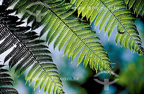 Samambaia - planta