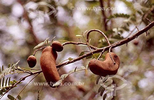 Tamarindo - fruta