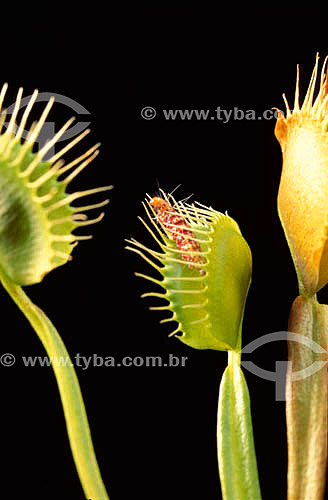 (Dionaea muscipula) Dionéia - planta carnívora