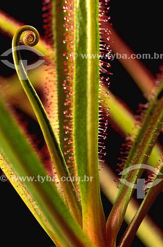 (Drosera regia) Drosera - planta carnívora