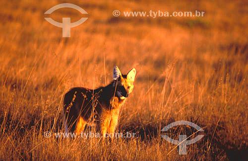 (Chrysocyon brachyurus) Lobo-Guará - Parque Nacional da Serra da Canastra - MG - Brasil  - Minas Gerais - Brasil