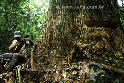 Homem cortando castanheira com serra elétrica - desmatamento - Amazônia - Brasil. Data: 2001