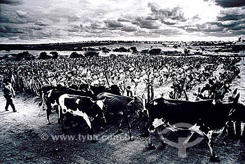 Homem e vacas magras durante a seca do nordeste - Caatinga - Brasil