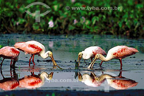 (Ajaia ajaja) Colhereiros comendo - PARNA do Pantanal Matogrossense  - MT - Brasil  A área é Patrimônio Mundial pela UNESCO desde 2000.  - Mato Grosso - Brasil