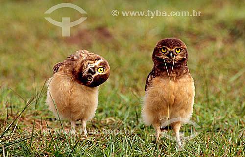(Speotito cunicularia) - Coruja-do-Campo - PARNA do Pantanal Matogrossense  - MT - Brasil  A área é Patrimônio Mundial pela UNESCO desde 2000.  - Mato Grosso - Brasil