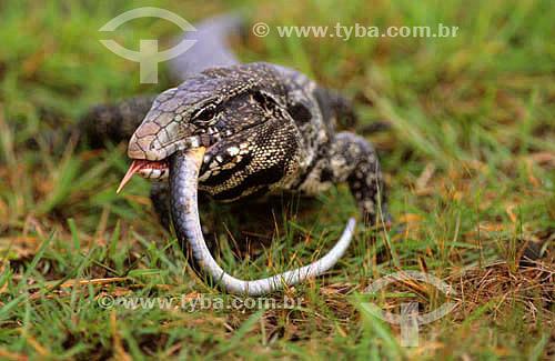(Tupinambis teguixin) Lagarto Teiu devorando uma cobra - PARNA do Pantanal Matogrossense  - MT - Brasil  A área é Patrimônio Mundial pela UNESCO desde 2000.  - Mato Grosso - Brasil