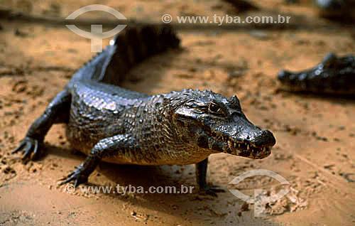(Caiman crocodylus) Jacaré Tinga - PARNA do Pantanal Matogrossense  - MT - Brasil  A área é Patrimônio Mundial pela UNESCO desde 2000.  - Mato Grosso - Brasil