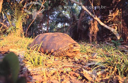 (Geochelone carbonaria) Jabuti Piranga - PARNA do Pantanal Matogrossense  - MT - Brasil  A área é Patrimônio Mundial pela UNESCO desde 2000.  - Mato Grosso - Brasil