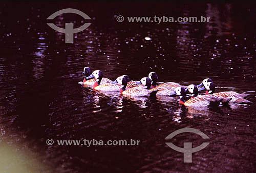 (Dendrocygna viduata) - Irerês nadam em grupo - sul do Brasil