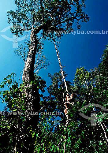 Homem escalando árvore por um cipó - Floresta Amazônica - Peru