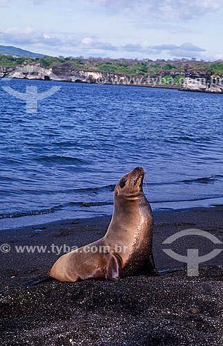 Lobo marinho no arquipélago de Galápagos - Equador