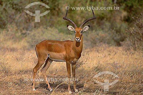 Impala (Aepyceros melampus) - Reserva de Fauna Masai Mara - Quênia - África