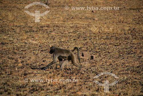 Babuino (Papio papio) - Parque Nacional Pilanesburgo - África do Sul - Agosto de 2006