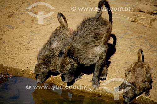 Babuinos (Papio papio) - Parque Nacional Pilanesburgo - África do Sul - Agosto de 2006