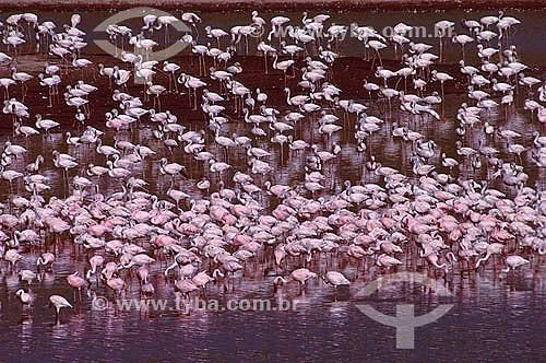 Flamingo-pequeno (Phoenicopterus minor) - Parque Nacional Arusha - Tanzânia - África