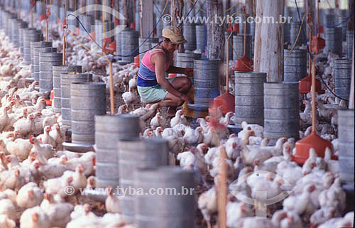 Agroindústria - Avicultura / frango: Trabalhador em granja - Sadia - Concórdia - SC - Brasil - data: 2002  - Concórdia - Santa Catarina - Brasil