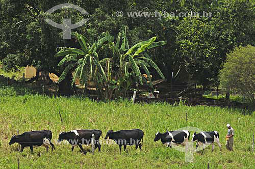 Homem guiando vacas leiteiras no pasto - Fazendas próximas a São Fidélis - Rio de Janeiro - BrasilData: 01/12/2006