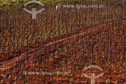 Assunto: Plantação de tomate entre as cidades de Muriaé e Raposo / Local:  Noroeste Fluminense - RJ / Data: 06/2008