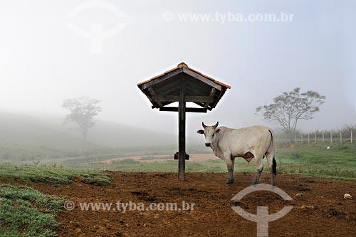 Assunto: Gado na Fazenda Beira Rio, próxima à Santo Antônio de Pádua / Local:  Noroeste Fluminense - RJ / Data: 06/2008