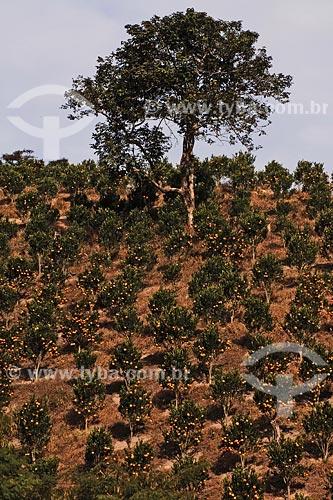 Plantaçao de tangerina ponkan (pokan ou pocan) proximo a Sao Jose do Vale do Rio Preto - Estrada Rio-Teresopolis - Rio de Janeiro / Data: 2010