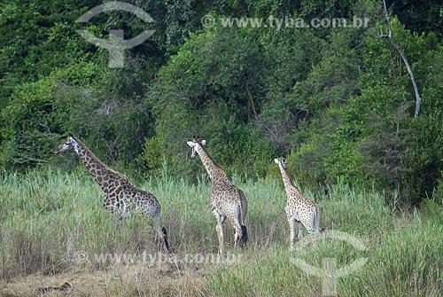Assunto: Girafas - Parque Hluhluwe Imfolozi / Local: Hluhluwe - Kwazulu Natal - África do Sul / Data: 14 de Março de 2007