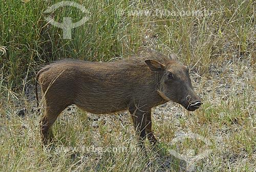 Assunto: Javali - Parque Hluhluwe Imfozoli / Local: Hluhluwe - Kwazulu Natal - África do Sul / Data: 14 de Março de 2007