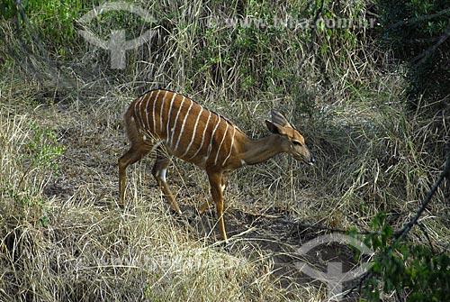 Assunto: Niala - Parque Hluhluwe Imfolozi / Local: Hluhluwe - Kwazulu Natal - África do Sul / Data: 14 de Março de 2007