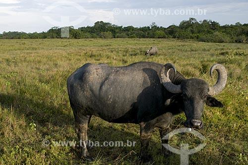 Assunto: Bufalos do Marajó / Local: Pará (PA) / Data: 22 de Julho de 2008