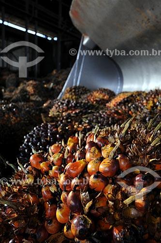 Assunto: Dendê para produção de óleo - Agricultura / Local: (BA) / Data: 17 de Julho de 2008
