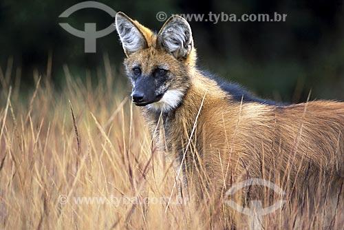 Assunto: Lobo-guará (Chrysocyon brachyurus) no Parque Nacional da Serra da Canastra / Local: Cerrado de Minas Gerais (MG) - Brasil / Data: Julho de 2004