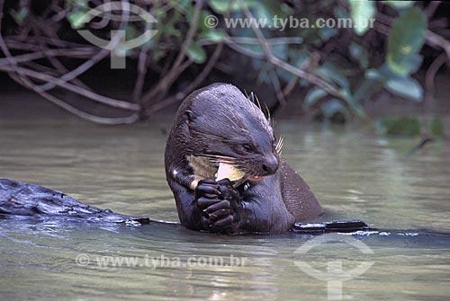 Assunto: Ariranha (Pteronura brasiliensiis) comendo piranha no Rio Pixaim / Local: Pantanal Matogrossense - Mato Grosso (MT) -  Brasil / Data: Outubro de 2004