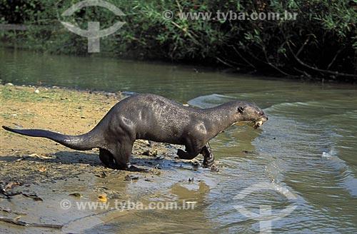 Assunto: Ariranha (Pteronura brasiliensiis) na beira do Rio Pixaim / Local: Pantanal Matogrossense - Mato Grosso (MT) -  Brasil / Data: Outubro de 2004
