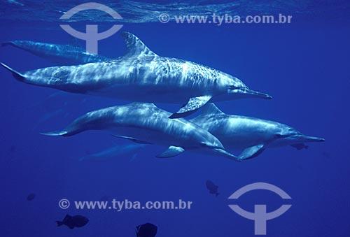 Assunto: Grupo de Golfinhos-rotadores (Stenella longirostris) / Local: Baía dos Golfinhos - Fernando de Noronha - Brasil / Data: Dezembro de 2005