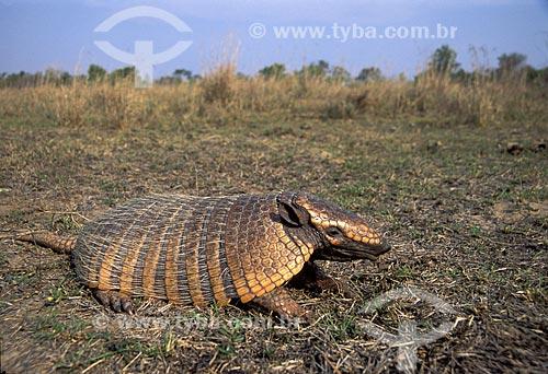 Assunto: Tatu-peba ou Tatu-peludo (Euphractus sexcinctus) / Local: Cerrado - Brasil / Data: Março de 2006
