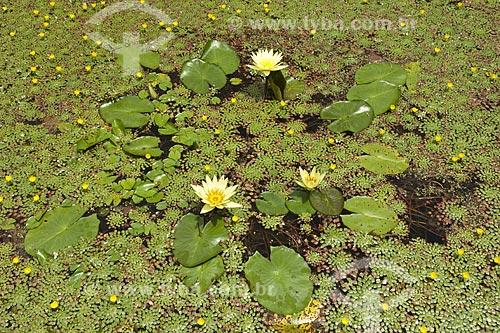 Assunto: Ninféia no jardim da Fazenda Vargem Grande, da família de Clemente Gomes / Local: Areias - São Paulo (SP) - Brasil / Data: Fevereiro 2008