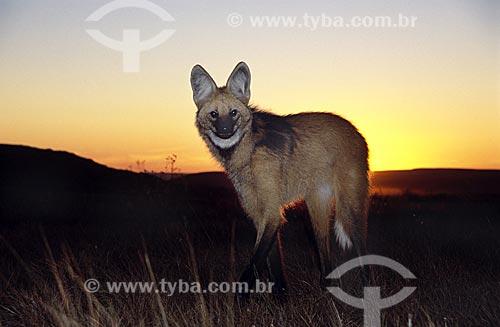 Assunto: Lobo-guará (Chrysocyon brachyurus) no Parque Nacional da Serra da Canastra / Local: Parque Nacional da Serra da Canastra - Brasil / Data: Julho de 2004