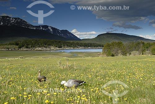 Assunto: Campo florido ao redor da Baía Lapataia; Canal de Beagle; Parque Nacional Terra do Fogo. Pássaro: Cauquén ( Chloephaga hybrida) / Local: Ushuaia - Argentina / Data: 11 / 2008
