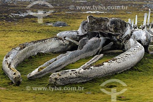 Assunto: Ossos de filhote de baleia montados por Jacques Cousteau perto da Estação Antártica Comandante Ferraz / Local: Península Antártica / Data: 11/2008
