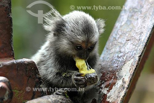 Assunto: Mico no entorno do Pão de Açúcar comendo Jaca / Local: Urca - Rio de Janeiro - RJ - Brasil / Data: 11/2007