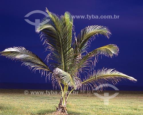 Assunto: Coqueiro na praia da Barra de São João / Local: Casimiro de Abreu - Rio de Janeiro (RJ) - Brasil / Data: Novembro de 2007