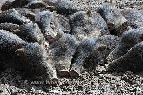 Assunto: Bando de Queixadas (Tayassu pecari) dormindo / Local: Pantanal Matogrossense - Mato Grosso - Brasil / Data: Abril de 2006