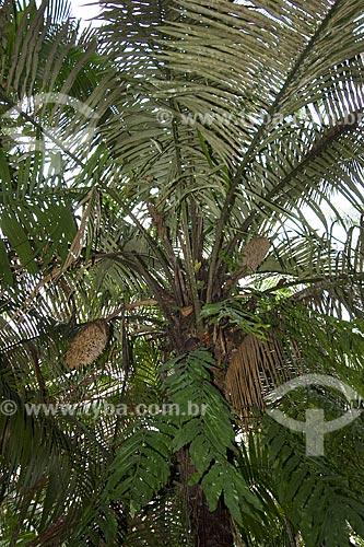 Assunto: Copa de Murumuru (Astrocaryum murumuru) - Floresta de várzea na Ilha de Combu / Local: Perto de Belém - Pará - Brasil / Data: Fevereiro de 2006
