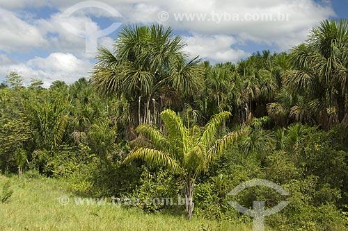 Assunto: Buritis (Mauritia flexuosa) e outras palmeiras no Lavrado de Roraima / Local: Estrada de Boa Vista para Alto Alegre - Roraima - Brasil / Data: Janeiro de 2006
