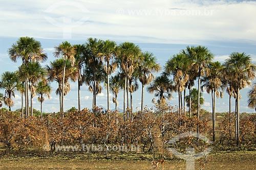 Assunto: Buritizal (Mauritia flexuosa) e vegetação de lavrado queimada / Local: Estrada Boa Vista - Bonfim - Norte de Roraima - Brasil / Data: Janeiro de 2006